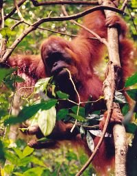 Orangutan in Leuser NP, Sumatra. Photo: Michaela Kupková 2001